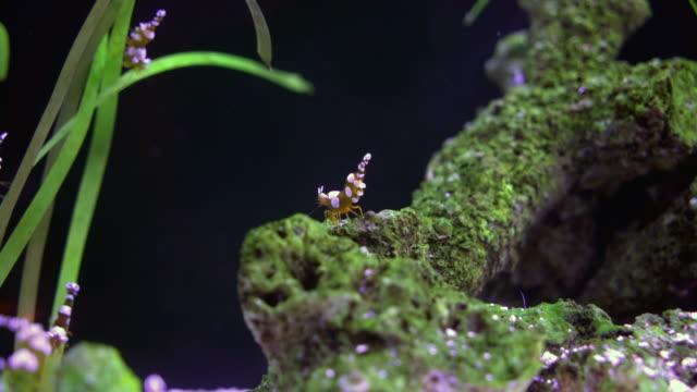Sexy shrimp video