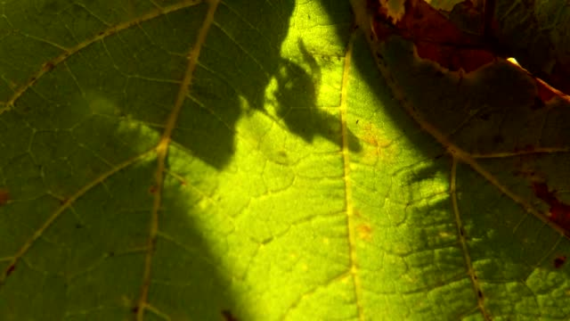 Shadow of Fly Rubs with Paws on Green Leaf of Grape Close Up video