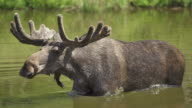 SLOW MOTION: Shaking Moose video