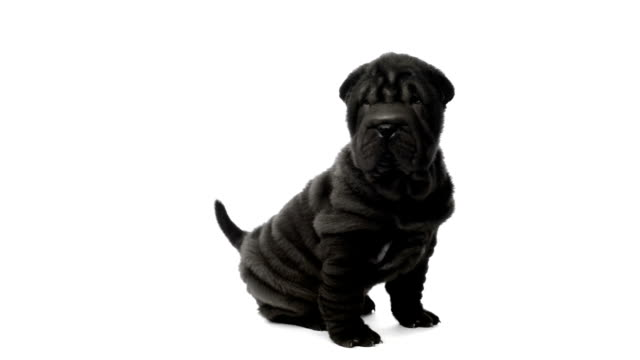 Shar pei puppy sitting and looking around video