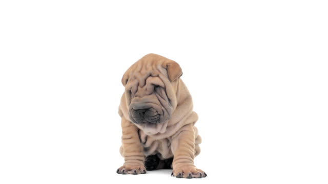 Shar pei puppy sitting, looking around and falling asleep video