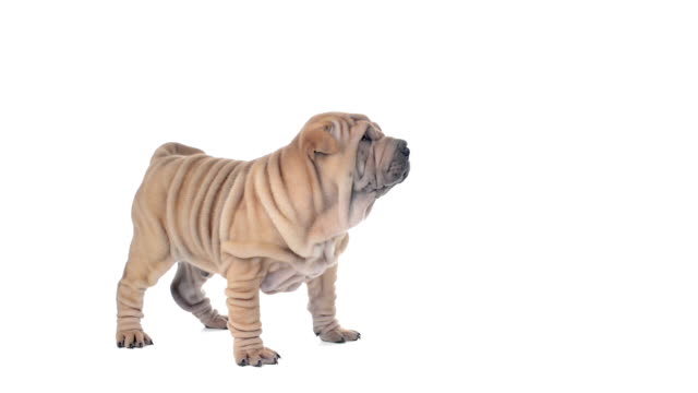 Shar pei puppy standing and looking around, then sits video