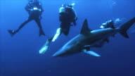 shark between group of scuba divers video