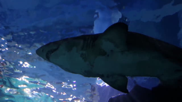 Shark in a water video