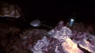 sharks in feeding frenzy, cocos island video