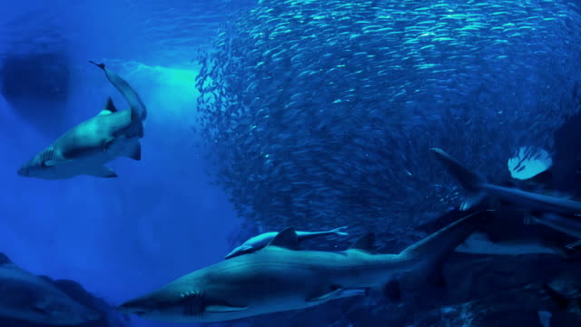 Sharks with Bigeye sardine video