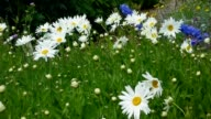 Shasta daisy flowers in summer garden video