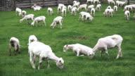 Sheared sheep grazing in a paddock video