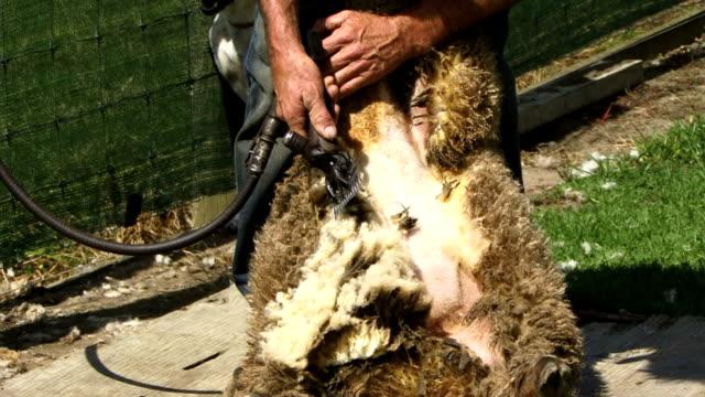 Shearing a sheep video
