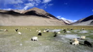 sheep against the background of distant colorful mountain, Rangdum, Zanskar valley, India video