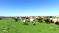 Sheep and goats in the countryside from Portugal video