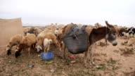 Sheep and goats near the desert in Morocco video