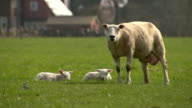 Sheep and her lambs laying on the grass video