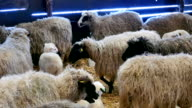 Sheep and Lambs on Farm Animals video