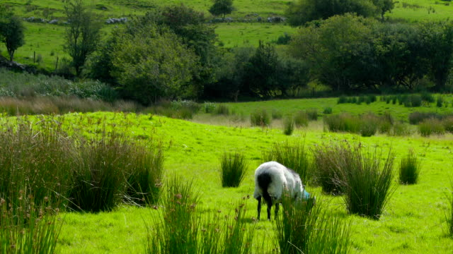 A sheep and the tall grasses in Carrowmore Ireland video