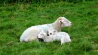 Sheep at Avebury, UK video