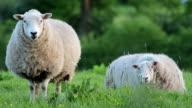 Sheep At Dusk video