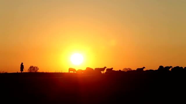 Sheep At Sunset video