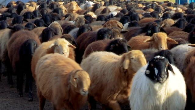 Sheep . Breeding Lambs on the Farm . Sheep Grazing in a Meadow 7 video