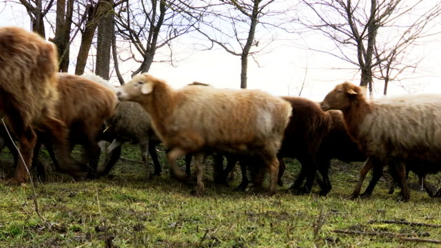 Sheep . Breeding Lambs on the Farm . Sheep Grazing in a Meadow video
