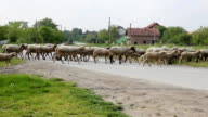 Sheep crossing a road in the village video