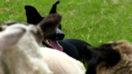 Sheep dog herding video