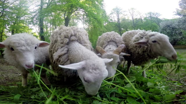 sheep eat grass on the lawn video