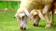 sheep eating grass video