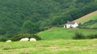 Sheep farm video