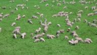 PAN Sheep Flock Grazing On Pasture video