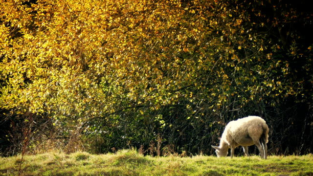Sheep Grazes Near Tree In Golden Sunlight video
