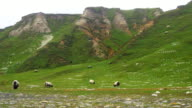 Sheep Grazing At Rocky Coastline video