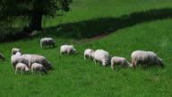 Sheep Grazing In Spring video