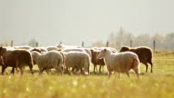Sheep grazing on a pasture video