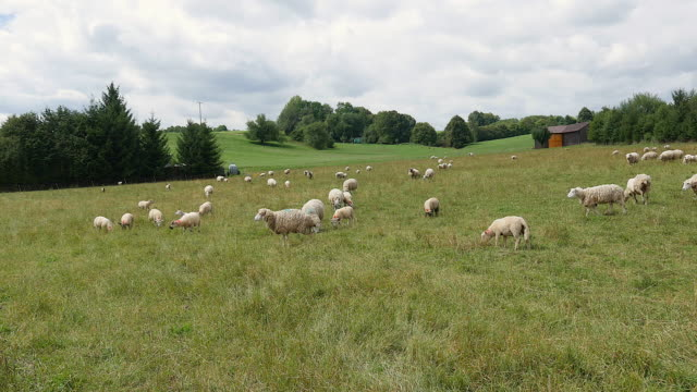 Sheep grazing on the field video