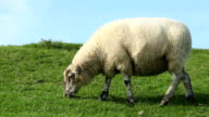 Sheep grazing video
