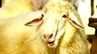 sheep head look at camera video