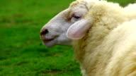 sheep head video
