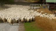 Sheep Herd coming towards Camera video