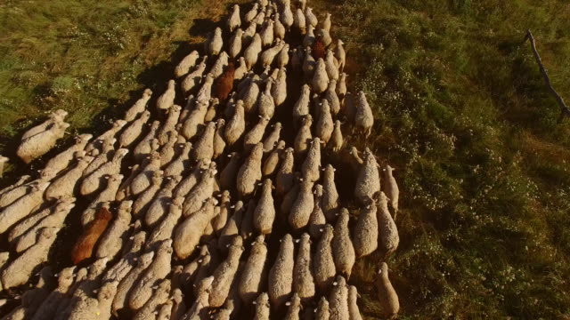 Sheep herd is moving. video