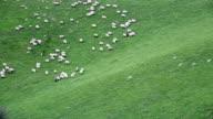 Sheep herd walking down a hill video