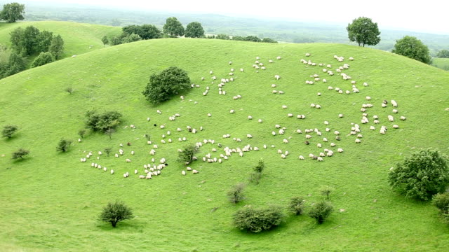 Sheep herd walking down a hill video