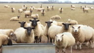 Sheep in a field video