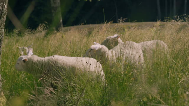 Sheep In A Meadow video