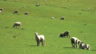 Sheep in a Pasture video