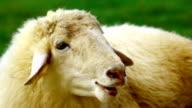 sheep in green field video