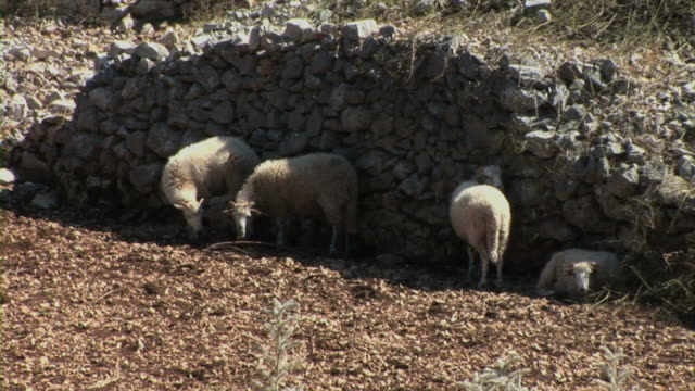 Sheep in nature video