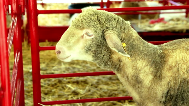 Sheep in pen at county Fair video