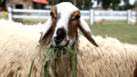 Sheep is eating grass video