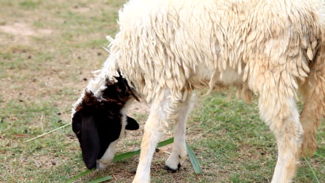 Sheep is eating some grass video